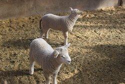 たくさんの赤ちゃん羊がいました。
