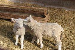 赤ちゃん羊同士のじゃれ合いはとても癒されました