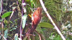 Strong-billed Woodcreeper San Vicente trails