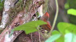 Red-faced Spinetail, San Vicente trails