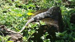 Un iguane sur le site