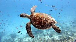 Turtle, Rasdhoo 2020