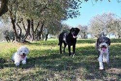 Freddie (white Lagotto) Pepita (black lab) and Moka