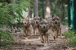 Wolfcenter Dorverden