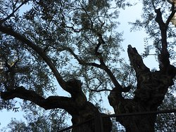 Upper trunk and leaves of olive tree
