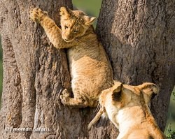 This cub was happy to learn climbing the tree skills from the mother.