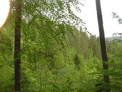 spring mix forest Fagus - Pinus silvestris virgin forest rodopi mountains