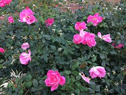Lovely rose garden