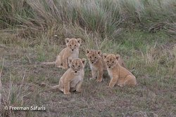 Age of innocence. This lovely cubs posed for the photo and beautifuly looked at the camera as the shot was being taken.
