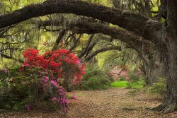 THREE WEEKS OUT OF EVERY YEAR CHARLESTON IS PAINTED IN COLOR; And if you're one of those lucky visitors that come to visit in March, you will get to experience Charleston in all of her glory. When the azaleas begin to bloom, it's almost like God takes out his colors and begins to paint. March truly is one of the most fabulous times to come and experience all that makes Charleston so charming.