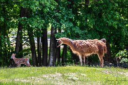 One of our llamas, Damhnait, with a baby deer fawn that was in our pasture one day!