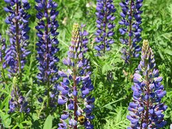 Lupine and bee