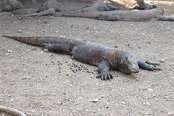 Dragon de Komodo - Iles de la Sonde