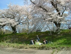 Hanami parties under the Sakura trees.