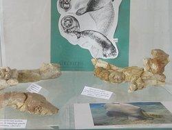 Musée du Savignéen. Sirénien 4. Restes de Mandibule de Metaxytherium Medium. Découverte 2006 V. Gelot dans la Falunière La Baronnerie à Channay-Sur-Lathan. Juin 2020.