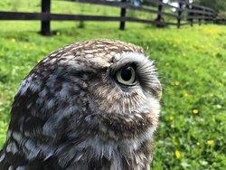 Little Owl Falconry Loch Awe Argyll Scotland