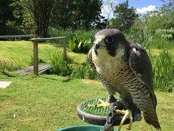 Peregrine Falcon Falconry Loch Awe Argyll Scotland