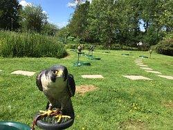 Peregrine Falcons Falconry Loch Awe Argyll Scotland