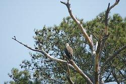 Bald Eagle on Assateague Island.