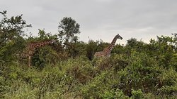 Giraffes nearby