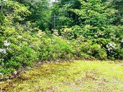 Mountain Laurel in bloom in West Virginia