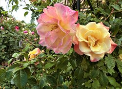 Royce' Roce garden 🌸