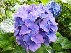 あじさいまつりは中止でも紫陽花は綺麗