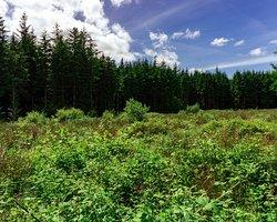 Blanemore Forest Walk