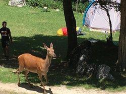 """Cervo femmina all'interno del campeggio, """"passeggiava"""" nella zona tende"""