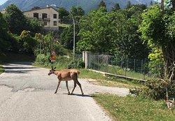 Cervo femmina sulla strada per andare al paesino