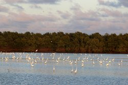 Great Egrets around the lodge in the early morning