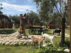 Keçi ve atlar