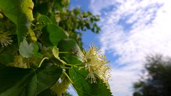 Blooming linden in Kolomenskoye. Amazingly gentle and pleasant aroma accompanies throughout the walk