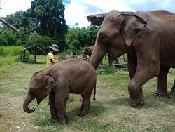 Our herd is so so happy to see you. Thank you for all lovely visitors. Your continued support to help buy elephant's food is greatly appreciated at this time.🙏🐘♥️  If you would like to support our elephants during this difficult time you can help to buy food for them.  Here is Link for donation: https://www.paypal.me/cmelephanthome Or Inbox us here: http://m.me/cmelephanthome for other method to donate.  Please like and share this post! 🙏🐘♥️ The elephants thank you and we thank you.