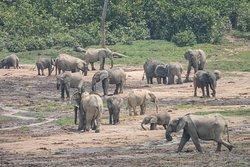 Elefantes en Dzanga Bai