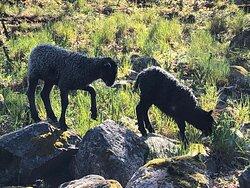 Gårdens lamm på upptäcksfärd