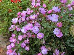 Royce' rose garden 🌸