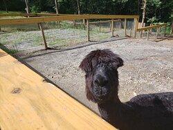 A feisty alpaca at Yellow River Wildlife Sanctuary.