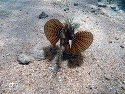 Little dragon fish