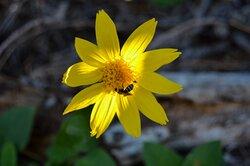 Bee enjoying the pollen on this Heart-leaf Arnica AKA Arnica cordifolia  Hook.