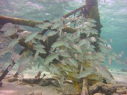 Fish under Alligator Reef Lighthouse
