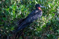 Mature Magnificent Frigate bird in a rare time of rest, these birds spend eighty percent of their lives aloft.