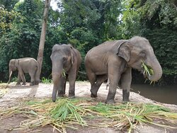 Our herd is enjoy eating. Thank you for all lovely visitors. Your continued support to help buy elephant's food is greatly appreciated at this time.🙏🐘♥️  If you would like to support our elephants during this difficult time you can help to buy food for them.  Here is Link for donation: https://www.paypal.me/cmelephanthome Or Inbox us here: http://m.me/cmelephanthome for other method to donate.  Please like and share this post! 🙏🐘♥️ The elephants thank you and we thank you very much.