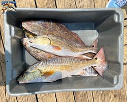 Carly Lousteau and her crew caught these beautiful bull reds and redfish while fishing inshore with Captain Damon McKnight yesterday, July 13th! What a catch!  If you would like to book your next fishing trip, give us a call at (985) 640-0772 or visit our website www.superstrikecharters.com