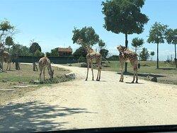 Le giraffe avevano la precedenza ...