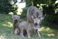 Louveteaux et leur mère