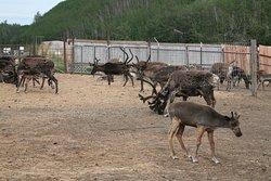 In the pen with the reindeer