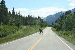 Moose on the Richardson Highway