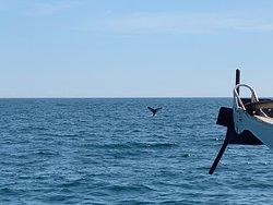 Humpback whale calf terminal dive.