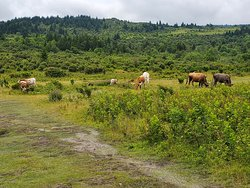 Wild Longhorn cattle on Rhododendron Trail